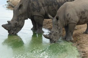 White Rhino (hvide Næsehorn) I Tshukudu