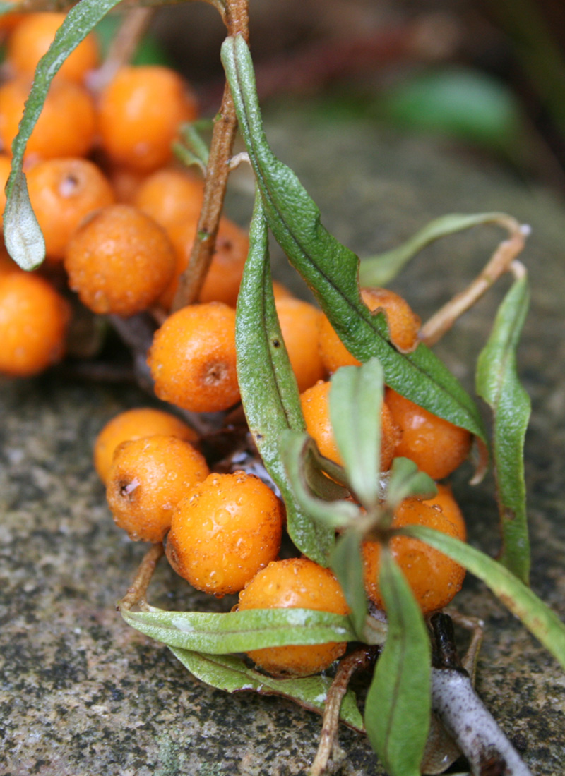 Havtorn Marmelade