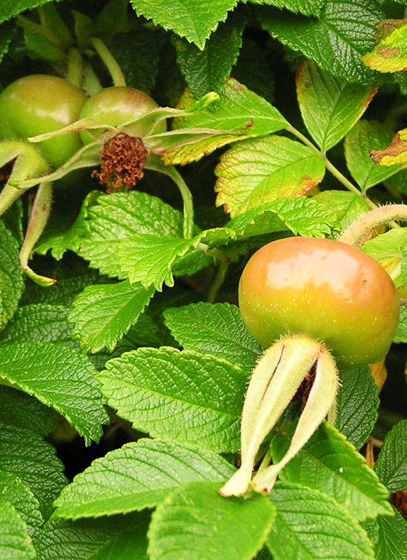 Hybenmarmelade Med æble Og Vanilje