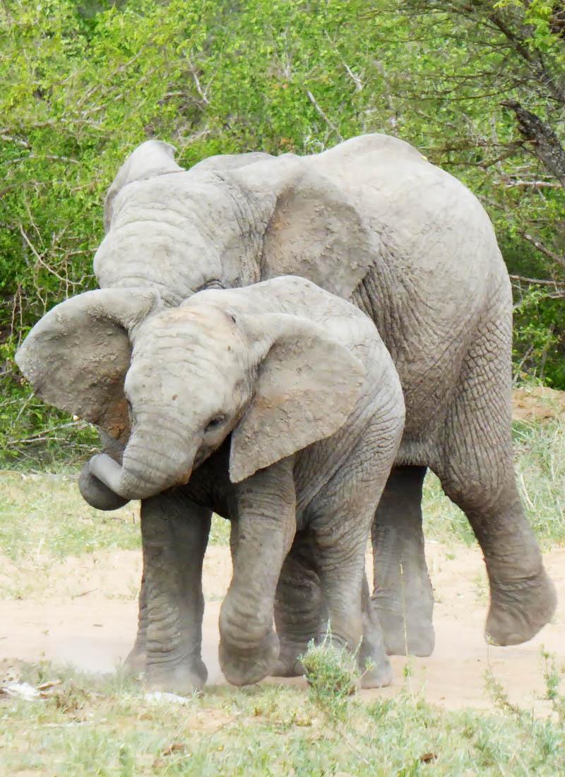Elefanter I Tshukudu